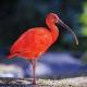 Atmosphère d'Amazonie - Ibis Rouges